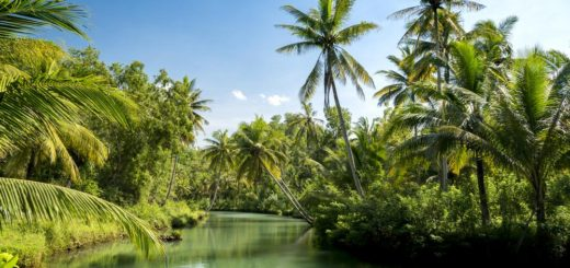 Coconut palms above the river in jungle of pandarangan, Indonesia